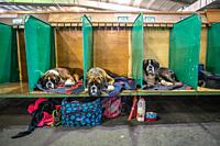 Three Boxer dogs laying down in separate pens at dog show, Edinburgh, Scotland.
