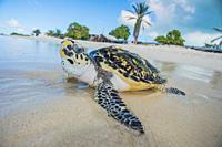 Turtle (Eretmochelys imbricata, Cheloniidae family).