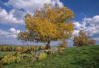 White Birch in fall. Quebec, Canada. .