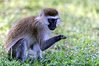 Vervet monkey exmining grass stem in Great Rift valley, Kenya.