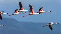 Lesser flamingos in flight over lake Bogoria, Kenya.