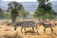 Grant's zebra (Equus quagga boehmi) Nakuru National Park, Kenya.