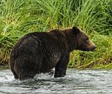 Female brown bear standing in a salmon stream, Katmai National Park Alaska.