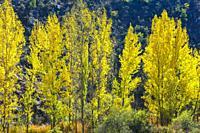 Poplar grove in a gorge in autumn. Chopos en desfiladero en otoño. Cañamares river. Guadalajara, Castilla-La Mancha, Spain, Europe.