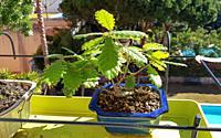 Quercus Suber Bonsai. Cork Oak. The cork oak is an evergreen Mediterranean tree. The tradition of using oaks for bonsai actually originated in Califor...