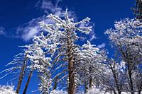 Rime ice on pines in the San Bernardino Mountains, San Bernardino National Forest, California USA.