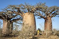 Baobabs near Andavadoaka, western Madagascar.
