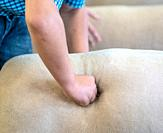 Child's fist presses into sheep's side during sheep judging, Timonium, Maryland.