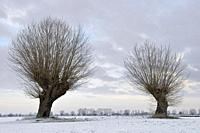 Old pollarded willows ( Salix sp. ) on a frosty winter morning on snow covered farmland, Lower Rhine region, North Rhine Westfalia, Germany.