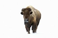 American bison ( Bison bison ) in winter, adult female, running directly towards the photographer, frontal view, Yellowstone area, Wyoming, USA. .