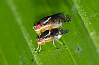 Mating Fruit Flies (Tephritidae Family) on leaf, Klungkung, Bali, Indonesia.