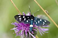 Nine-spotted, Amata phegea. Dark bluish black moth with nine white spots. 6 white spots on front wing with 3 on back. Moth exhibits Müllerian mimicry ...
