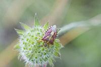Sloe Bug, Dolycoris baccarum. Colorful hairy shieldbug. Length: 10-12. 5mm. Pronotum is purplish red with red-purple elytra. Winter color is brown. Ta...