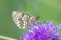 Nickerl's Fritillary Melitaea aurelia, checquered fritillary found in nutrient poor grasslands, calcareous fens and rocky slopes and scrubland. Larval...