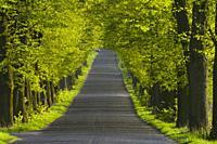 lime tree alley, Kujawy region, Poland