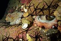 Courtship of common Octopus (Octopus vulgaris). Eastern Atlantic. Galicia. Spain. Europe.