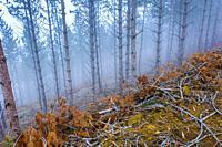 Pine forest. Bargota village area. Navarre, Spain, Europe.