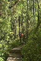 Trekking in the forest, Cascadas trail, Pumalin National Park, Patagonia, Region de los Lagos, Chile.