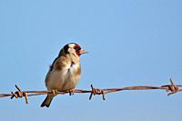 European Goldfinch (Carduelis carduelis), Greece