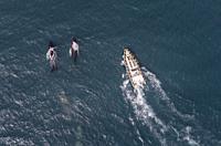 Humpback Whales, Eyjafjordur fjord, Iceland.