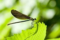 Female Beautiful Demoiselle, Calopteryx virgo. Adults: 49-54mm length. males are metallic blue and females emerald green. Wings are coppery gold to re...