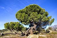Pine in the meadows in El Hoyo de Pinares. Avila. Spain. Europe.