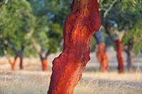 Cork Oak, Mediterranean forest, Sierra de San Pedro, Cáceres, Extremadura, Spain, Europe.