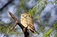 Spotted owlet, Athene brama, Keoladeo National Park, Bharatpur, India.
