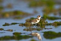 Lesser sand plover, Charadrius mongolus, Khijadiya Bird Sanctuary, Jamnagar, Gujarat, India.