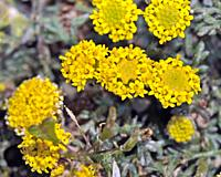 Flowers of Anthemis rigida, Crete.