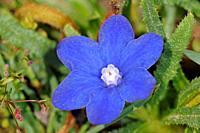Anchusa cespitosa - White Mountains endemic flower, Crete.