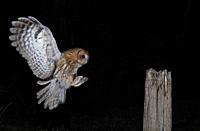 Tawny Owl-Strix aluco in flight. Uk.