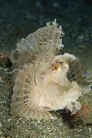 Weedy Scorpionfish (Rhinopias frondosa), Laha dive site, Ambon, Maluku (Moluccas), Indonesia.