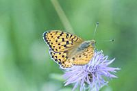 Dark Green Fritillary, Argynnis aglaja. A large checquered orange and black buttefly with olive green patches on the underwing with mother of pearl ma...