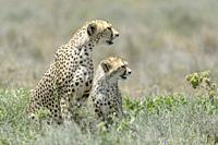 Cheetah (Acinonyx jubatus) mother with cub sitting on savanna, looking for prey, Ngorongoro conservation area, Tanzania.