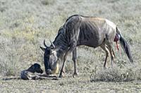 Blue Wildebeest (Connochaetes taurinus) mother cleaning just new born baby on savanna, Ngorongoro conservation area, Tanzania.
