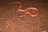 Corn snake, Pantherophis guttatus, Satara, Maharashtra, India.