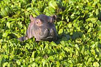 Young Hippopotamus (Hippopotamus amphibus) in a pond covered with water lettuce, Masai Mara National Reserve, Kenya, Africa.