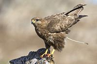 Common buzzard (Buteo buteo) defecating on a trunk in Extremadura, Spain.