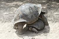 Galápagos giant tortoises (Chelonoidis nigra ssp), Tortoise breeding center of Isabela Island, Galapagos Islands, Ecuador.