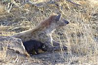Spotted hyenas (Crocuta crocuta), lying mother with young at the burrow entrance, early in the morning, Kruger National Park, South Africa, Africa.