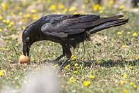 Common raven (Corvus corax) with a rare brown plumage, eating an egg, Extremadura, Spain.
