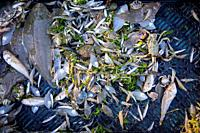 Shrimper's catch from shrimp drag net on the beach showing shrimps, crabs and fish like sole, lesser weever, mackerel caught along the North Sea coast