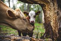 Female cow licking her calf next to a tree.