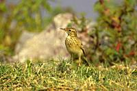 Paddyfield pipit or Oriental pipit, Anthus rufulus, standing on grass ground, Pune, Maharashtra, India.