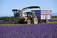 cutting and harvesting lavandin on the Valensole plateau. Alpes de Haute Provence, France.