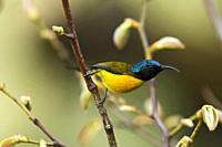 Green-tailed sunbird, male, Aethopyga nipalensis, Chopta, Uttarakhand, India.