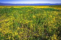 Wildflowers at Carrizo Plain National Monument, California USA.