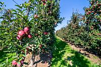 Apple orchard during apple harvesting.