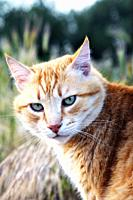 Portrait of a ginger cat turning its head towards the camera.